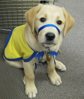 service dog as puppy